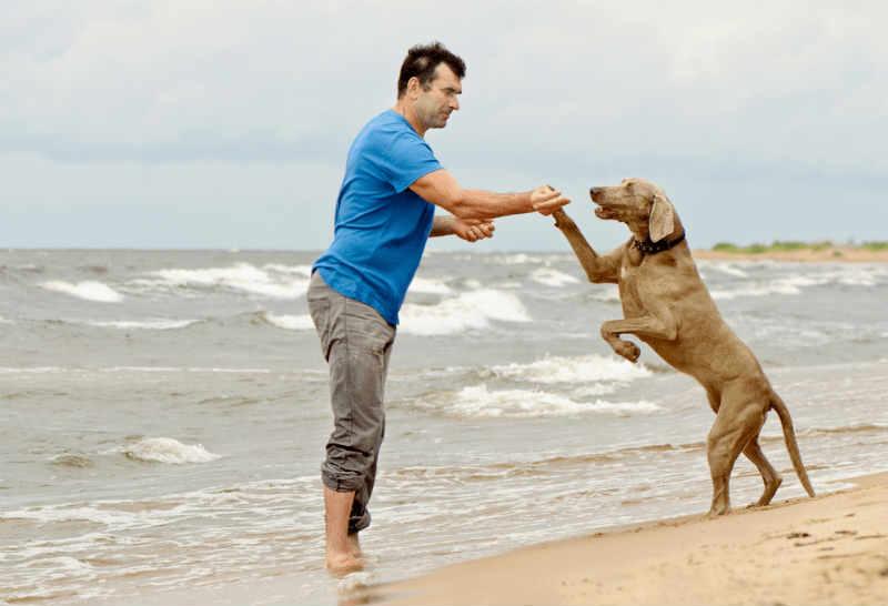 educar cachorro braco de weimar