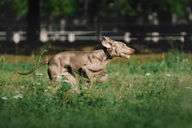 ejercitar cachorro braco de weimar
