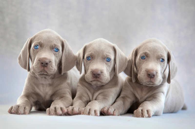 ojos azules braco de weimar